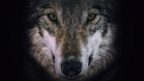 Wolves and Warriors